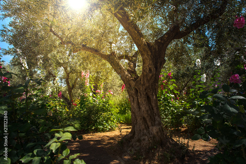 Canvas-taulu Olive trees in Gethsemane garden, Jerusalem