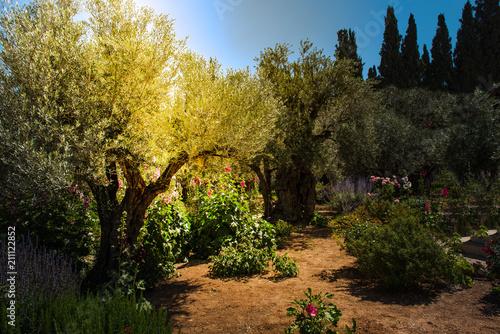 Obraz na plátne Olive trees in Gethsemane garden, Jerusalem
