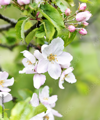 Blossoming apple tree, Apple tree branch with flowers. Springtime fruit tree, close-up shot with copy space.