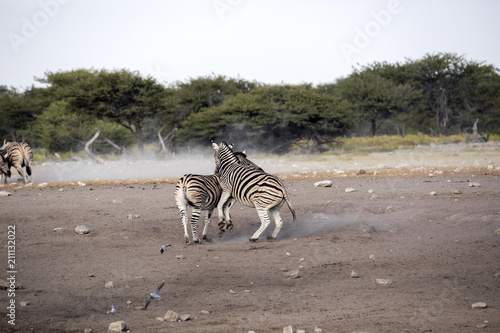 Deurstickers Zebra Fight of two stallions Damara zebra, Equus burchelli antiquorum, Etosha National Park, Namibia