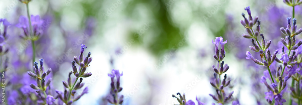 Fototapety, obrazy: Lavendel - Panorama
