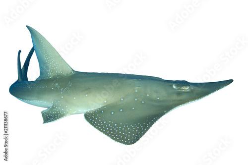 Giant Guitarfish (Shovelnose Ray) Shark Ray isolated on white background