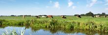 Typical Dutch Panorama Landsape With Framland. Grassland, Cows, Meadows And Blue Sky, White Clouds
