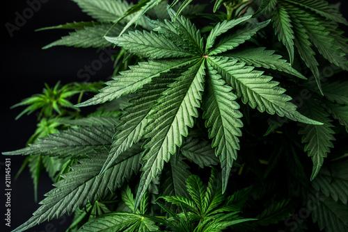 weed leaf cannabis marijuana