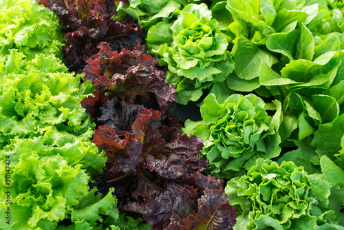lettuce green fresh plant