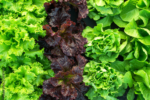 Obraz lettuce green fresh plant harvest salad - fototapety do salonu