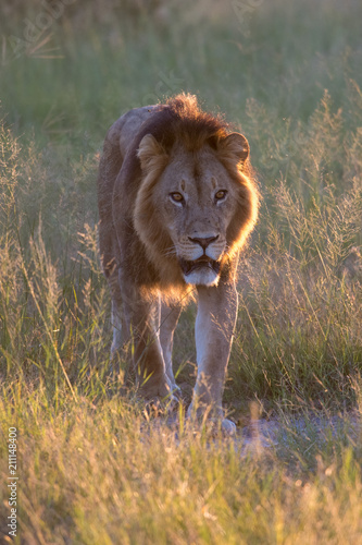 Mighty Lion watching the lionesses who are ready for the hunt in Masai Mara, Ken Canvas Print