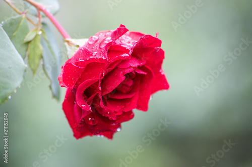 Fotografie, Obraz  single red rose with morning dew and bokeh background