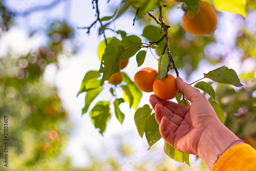 Harvesting apricots from tree.
