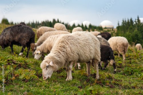 Herd of sheep graze on green pasture in the mountains. Young white and brown sheep graze on the farm.