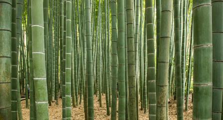 Šuma bambusa, Japan