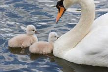 Mute Swan Baby