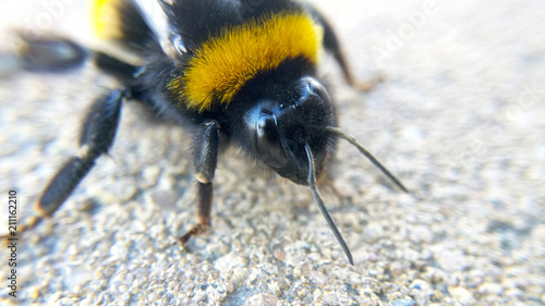 Foto op Aluminium Macrofotografie Bumble bee macro photo with blurred background, insect close-up