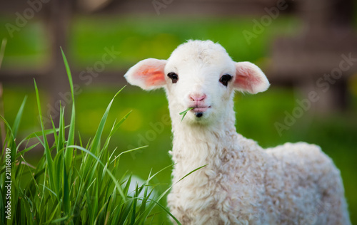 Canvastavla portrait of cute little lamb grazing in green spring meadow