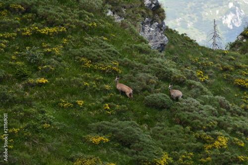 Plakat kozice w przedalpejskich Alpach
