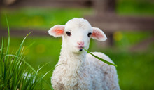 Portrait Of Cute Little Lamb Grazing In Green Spring Meadow
