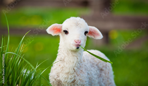 Fototapeta portrait of cute little lamb grazing in green spring meadow