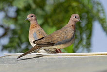 Mated Pair Of Laughing Doves