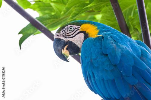Fotografija  Beautiful Blue-and-yellow Macaw (Ara ararauna) in the Brazilian wetland