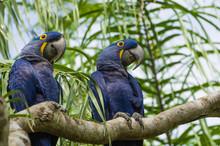 Beautiful Hyacinth Macaw (Anod...