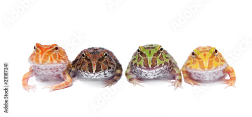 Four chachoan horned frogs isolated on white