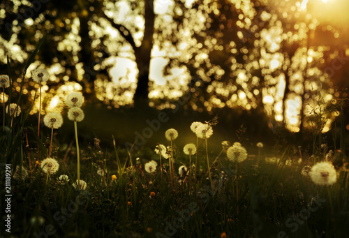 Valokuva  Dandelions in the evening forest at sunset
