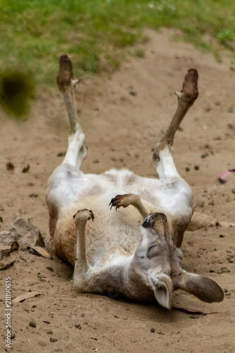 Photo  Kangaroo Rolling on Its Back in the Dir