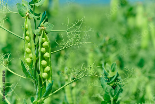 Beautiful close up of green fresh peas and pea pods. Healthy food. Selective focus on fresh bright green pea pods on a pea plants in a garden. Growing peas outdoors and blurred background.