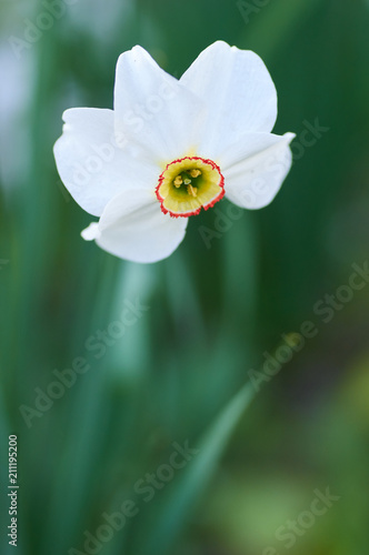 Papiers peints Narcisse White daffodil, close up/Beautiful white narcissus on a blured background