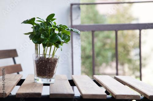 Obraz na płótnie coffee plant in a pot
