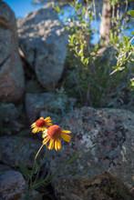 Wildflowers Bloom Against Boul...