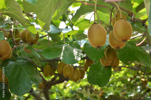 Kiwi fruits on a tree