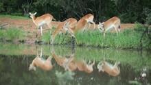 Red Lechwe Antelopes Feeding A...