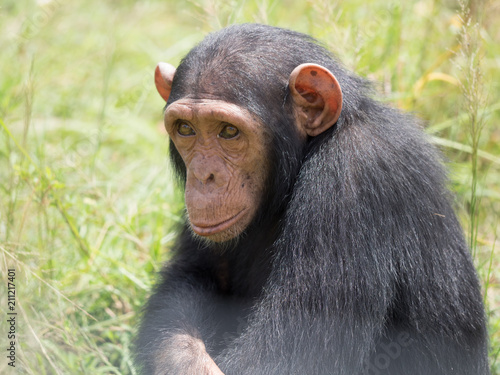 In de dag Chimpanzee consists of two extant species: the common chimpanzee and the bonobo. Together with humans, gorillas and orangutans they are part of the family Hominidae (the great apes). (Pan troglodytes)