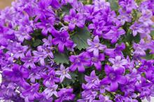 Heliotropium Violet Flowers Cl...