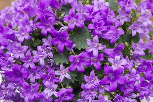 Foto op Canvas Lilac heliotropium violet flowers closeup