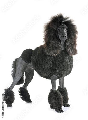 Photographie black standard poodle