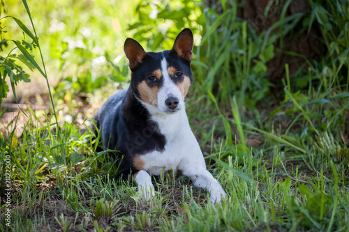 Fotografie, Obraz  Basenji dog in summer garden