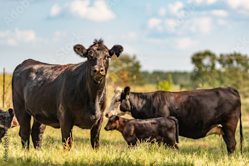 Commercial Angus cow herd - painting-like