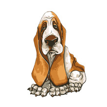 A Dog Of Basset Hound Breed. On Isolated White Background. Vector