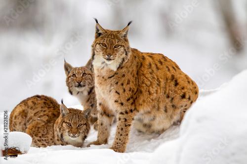 Fototapeta premium Ryś (Lynx lynx), matka z dwoma młodymi zwierzętami, zimą na wolnym powietrzu w Bawarskim Parku Narodowym w Niemczech.