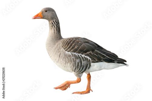 Fotografia, Obraz Greylag goose (Anser anser)