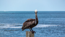 Clearwater Beach Pier Pelican Resting In The Sun