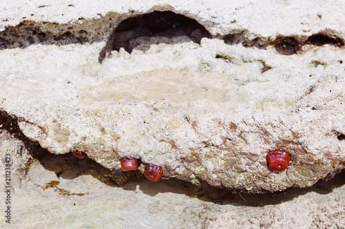 Stampa su Tela Actinia on the rock near the sea