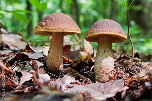 Fotografie, Obraz  Two edible brown mushrooms (Leccinum scabrum) grow in the woods