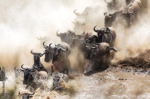Fotografie, Obraz  Wildebeest herd crossing the Mara River
