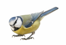 Blue Tit (Cyanistes Caeruleus), Titmouse Isolated On White Background