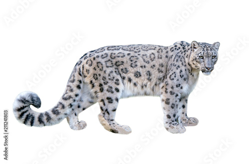 Poster Leopard Snow leopard (Panthera uncia). Leopard, full length, isolated on white background