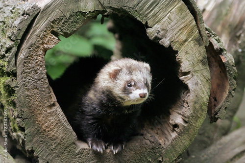 Obraz na plátne European polecat (Mustela putorius) in the den