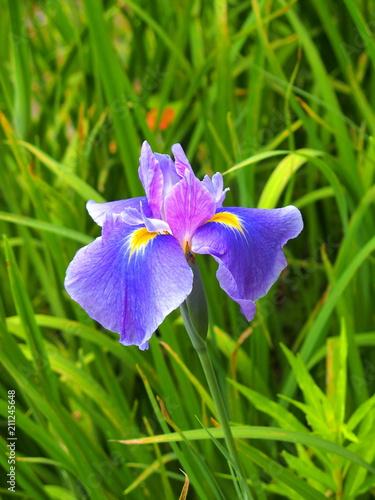 Foto op Canvas Iris 花菖蒲